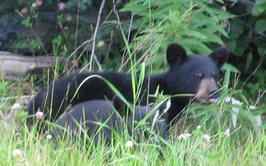 Black Bear on the Deshka