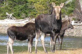Moose - Deshka River, Alaska