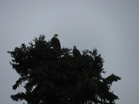 Pair of Bald Eagles watching for salmon coming up the Deshka River.jpg