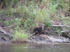 Young brown bear on the Deshka