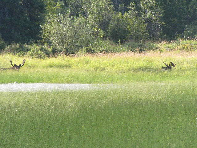 Two bull moose taking in the sun along the Deshka River.