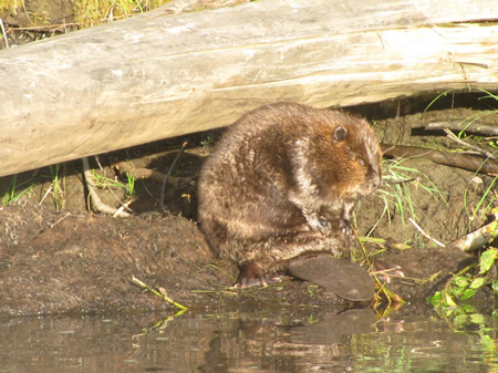 Beavers are often seen while fishing the Deshka